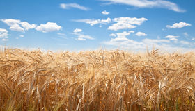 Weizen-Feld