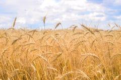 Weizen-Feld Stockfotos