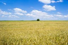 Weizen-Feld Stockbild