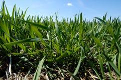 Weizen-Feld Stockbilder
