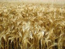 Weizen-Feld Lizenzfreies Stockbild