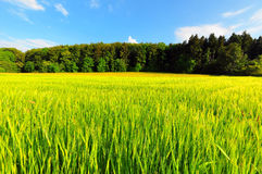 Weizen-Feld Stockfoto