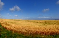 Weizen-Feld auf Ecke stockfoto