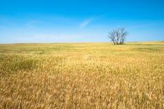 Weizen-Feld, Ernten, bewirtschaftend, Landwirtschaft Stockbilder