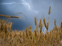 Weizen-Feld im Gewitter Lizenzfreies Stockbild