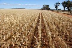 Weizen-Feld-Landwirtschaft Stockfoto