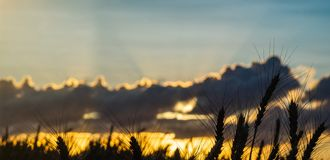 Weizen-Feld-Ohr-goldener Weizen-Abschluss tapete stockfoto