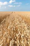 Weizen-Feld in PEI Lizenzfreies Stockfoto