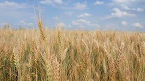 Weizen-Feld und Ährchen, blauer Himmel, weiße Wolken stock video footage