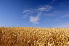 Weizen-Feld und blauer Himmel Stockfoto