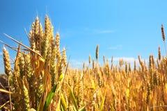 Weizen-Feld und blauer Himmel Lizenzfreies Stockbild