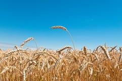 Weizen-Feld und blauer Himmel Stockfotografie