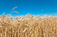 Weizen-Feld und blauer Himmel Lizenzfreie Stockbilder