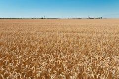 Weizen-Feld und blauer Himmel Stockfotos