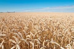 Weizen-Feld und blauer Himmel Lizenzfreies Stockfoto