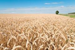 Weizen-Feld und blauer Himmel Lizenzfreie Stockfotografie