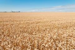 Weizen-Feld und blauer Himmel Lizenzfreie Stockfotos