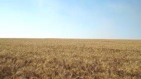 Weizen-Feld und Himmel wery Abschluss stock video footage