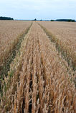 Weizen-Feld und Weg, Weise auf ihm Stockfoto