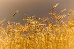 Weizen-Feld unter Sonnenuntergang Stockbild