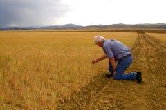 Weizen-Felder Lizenzfreie Stockfotos