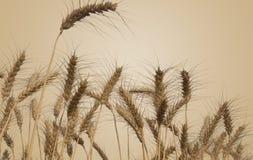Weizen-Felder lokalisiert Stockbild