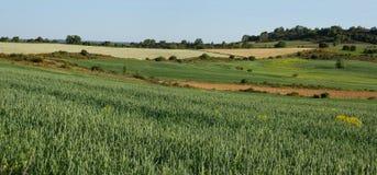 Weizen-Felder und Getreide Stockfotografie