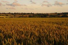 Weizen-Feldlandschaft stockbild