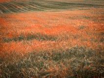 Weizen-Feldopfer der Dürre Stockbild