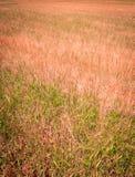 Weizen-Feldopfer von Dürre II Stockfotos