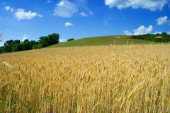 Weizen fileld am Sommer stockbilder