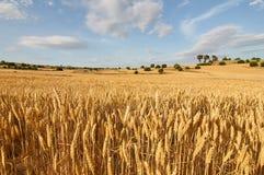 Weizen flields am Abend Stockbilder