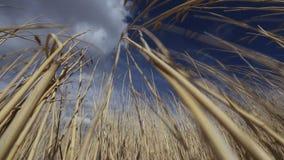 Weizen gegen den blauen Himmel stock video footage