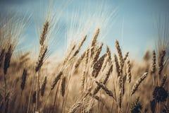 Weizen gegen einen blauen Himmel Lizenzfreie Stockfotos