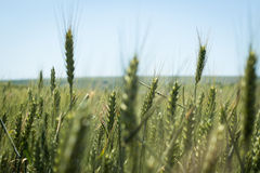 Weizen gegen klaren blauen Himmel Lizenzfreies Stockfoto