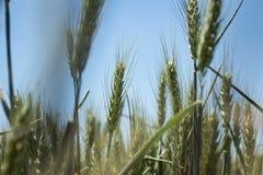 Weizen gegen klaren blauen Himmel Lizenzfreie Stockfotos