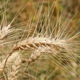 Weizen geht Nahaufnahme auf dem Gebiet voran Stockfotos