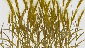 Weizen, Gerste, Mais auf weißem Hintergrund, Ernteanlage stock footage