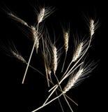 Weizen getrennt auf Schwarzem Stockfoto