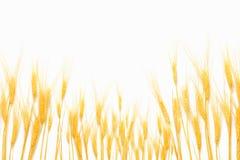 Weizen getrennt auf Weiß lizenzfreie stockbilder