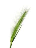 Weizen getrennt auf Weiß Stockfotos