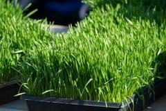 Weizen-Gras mit starken Schatten Stockfotografie