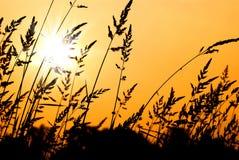Weizen-Gras-Schattenbild am Sonnenuntergang Stockfoto