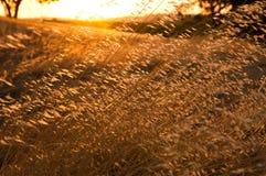 Weizen Gtass Feld Lizenzfreies Stockbild