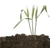 Weizen im Boden Stockfotografie