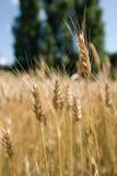 Weizen im Feldabschluß oben Stockfotos