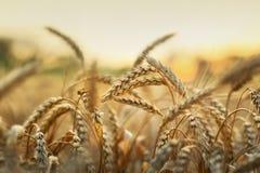 Weizen im frühen Tageslicht Lizenzfreies Stockbild
