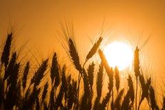 Weizen im Hintergrund der untergehender Sonne Lizenzfreie Stockfotografie