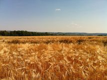 Weizen im La Frankreich Stockbilder