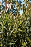 Weizen im Sommer Lizenzfreie Stockfotos